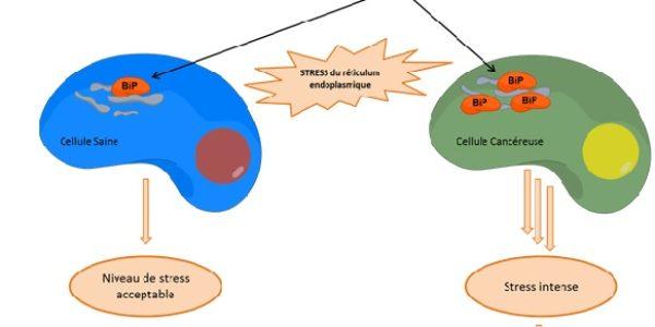 ICN / Cancer de la peau : la molécule HA15 pousse les cellules malades au suicide